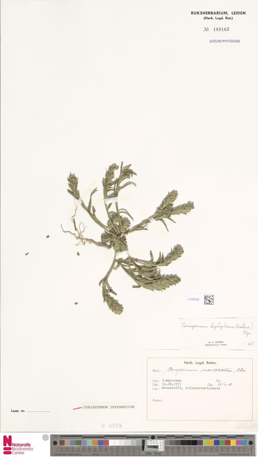 L.3205265 | Corispermum intermedium Schweigg.
