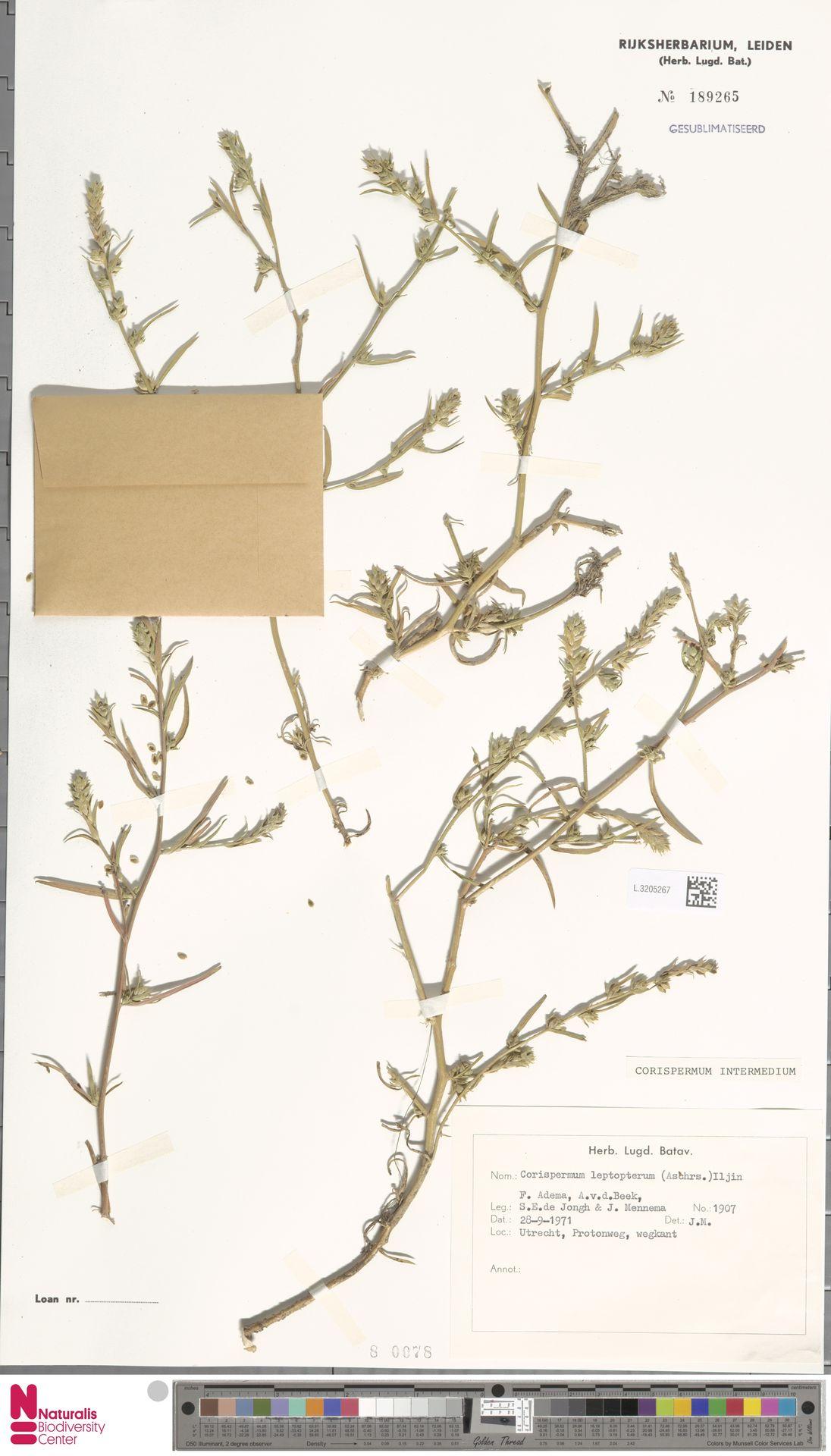 L.3205267 | Corispermum intermedium Schweigg.
