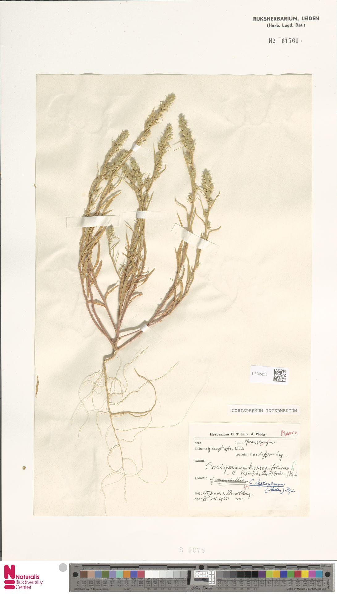 L.3205269 | Corispermum intermedium Schweigg.