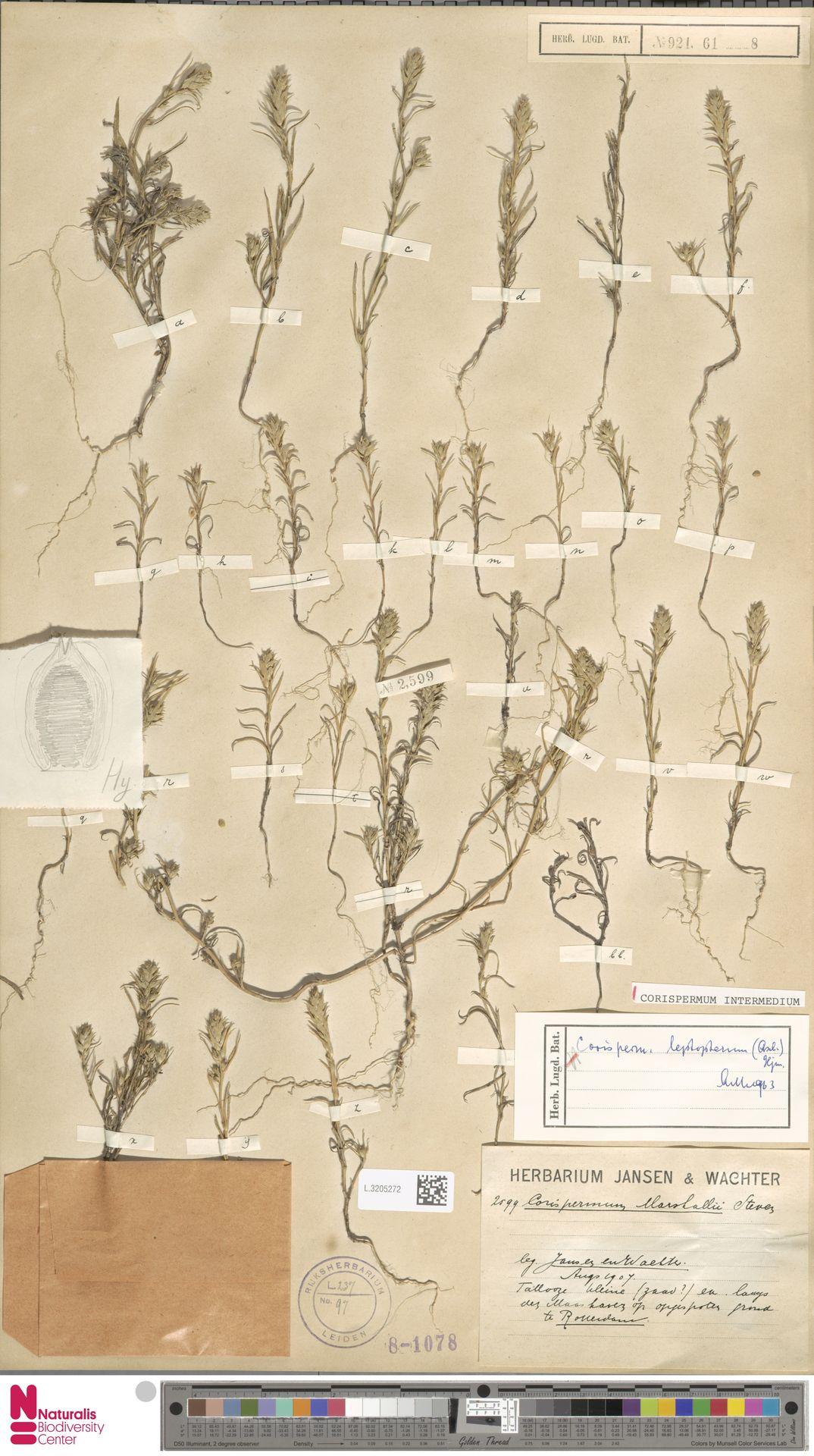 L.3205272 | Corispermum intermedium Schweigg.