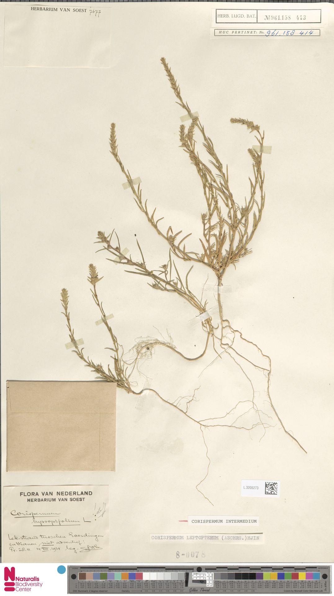 L.3205273 | Corispermum intermedium Schweigg.