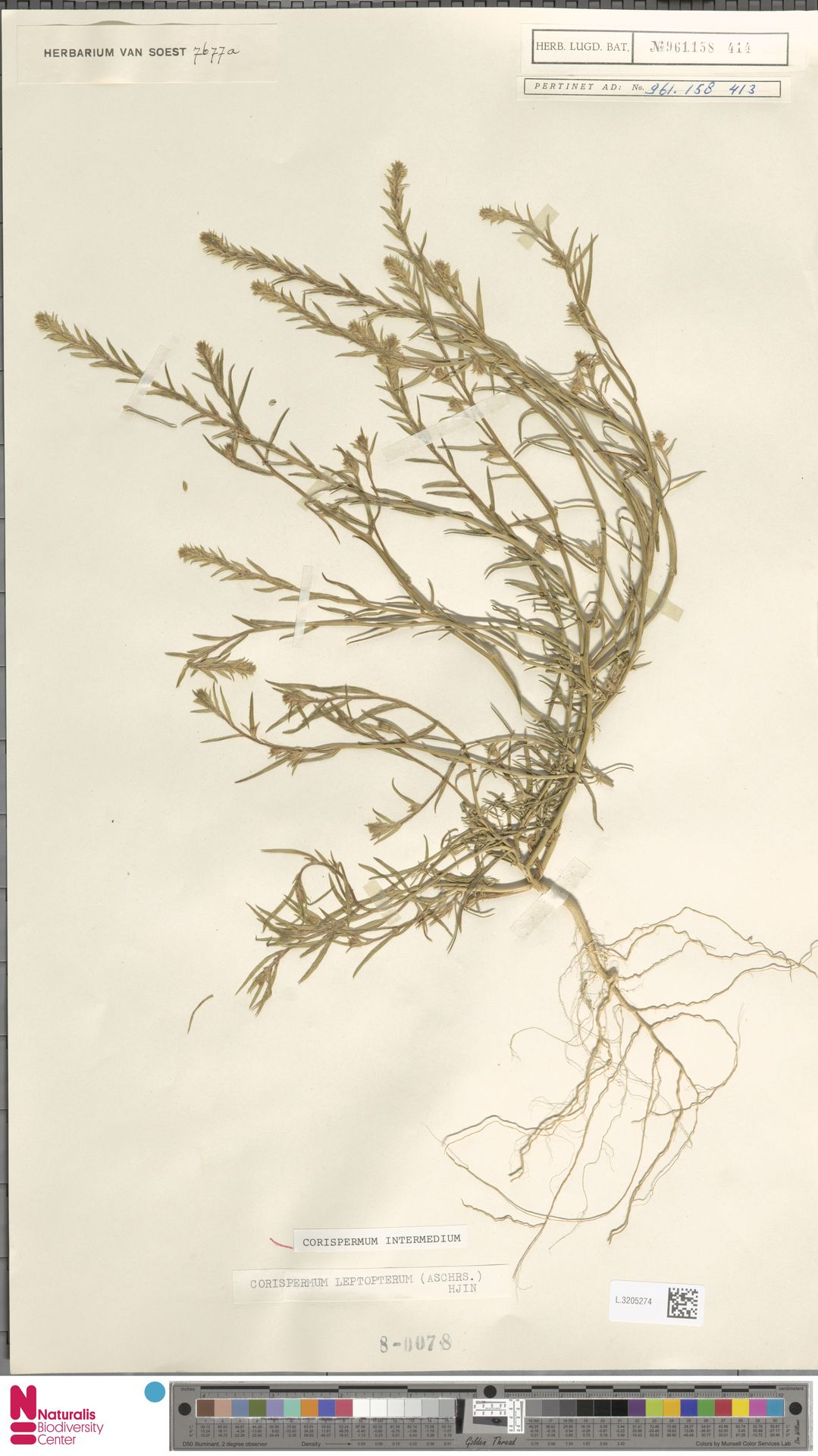 L.3205274 | Corispermum intermedium Schweigg.