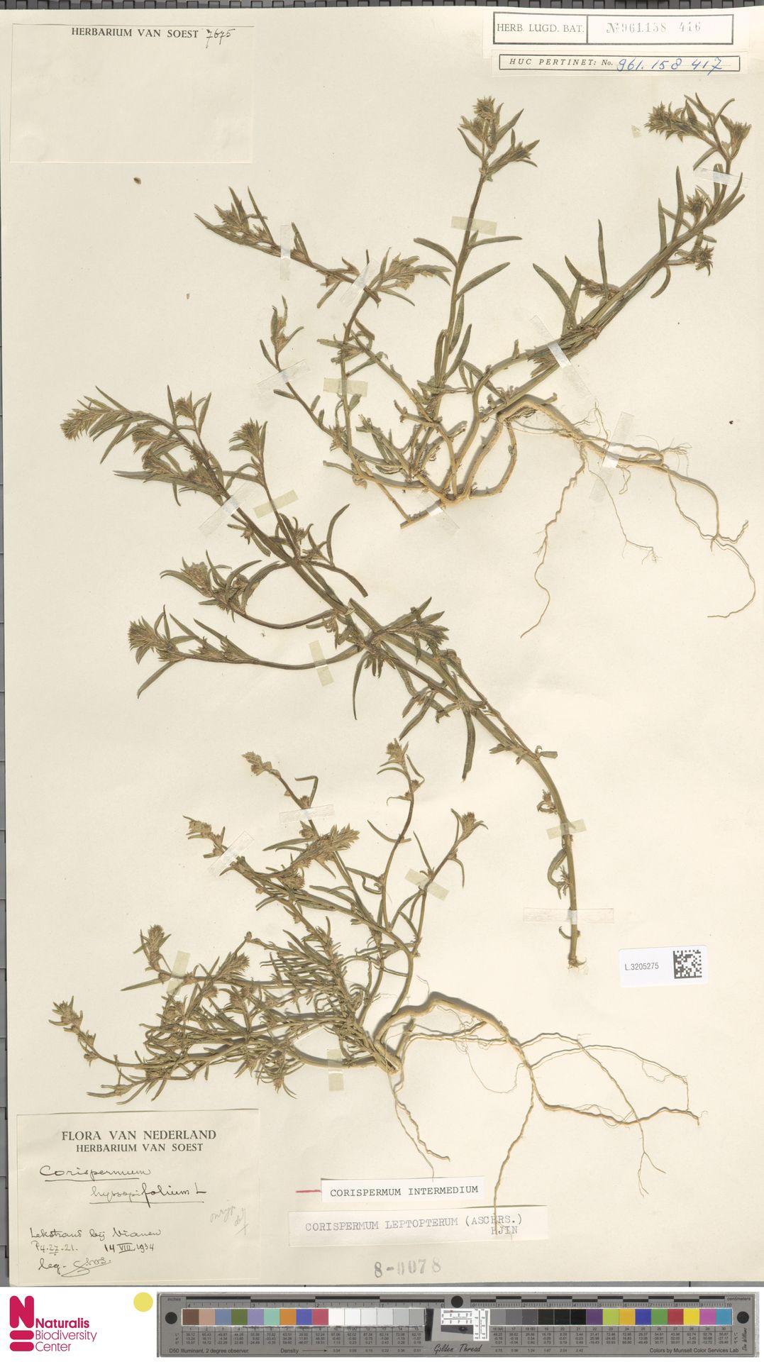 L.3205275 | Corispermum intermedium Schweigg.