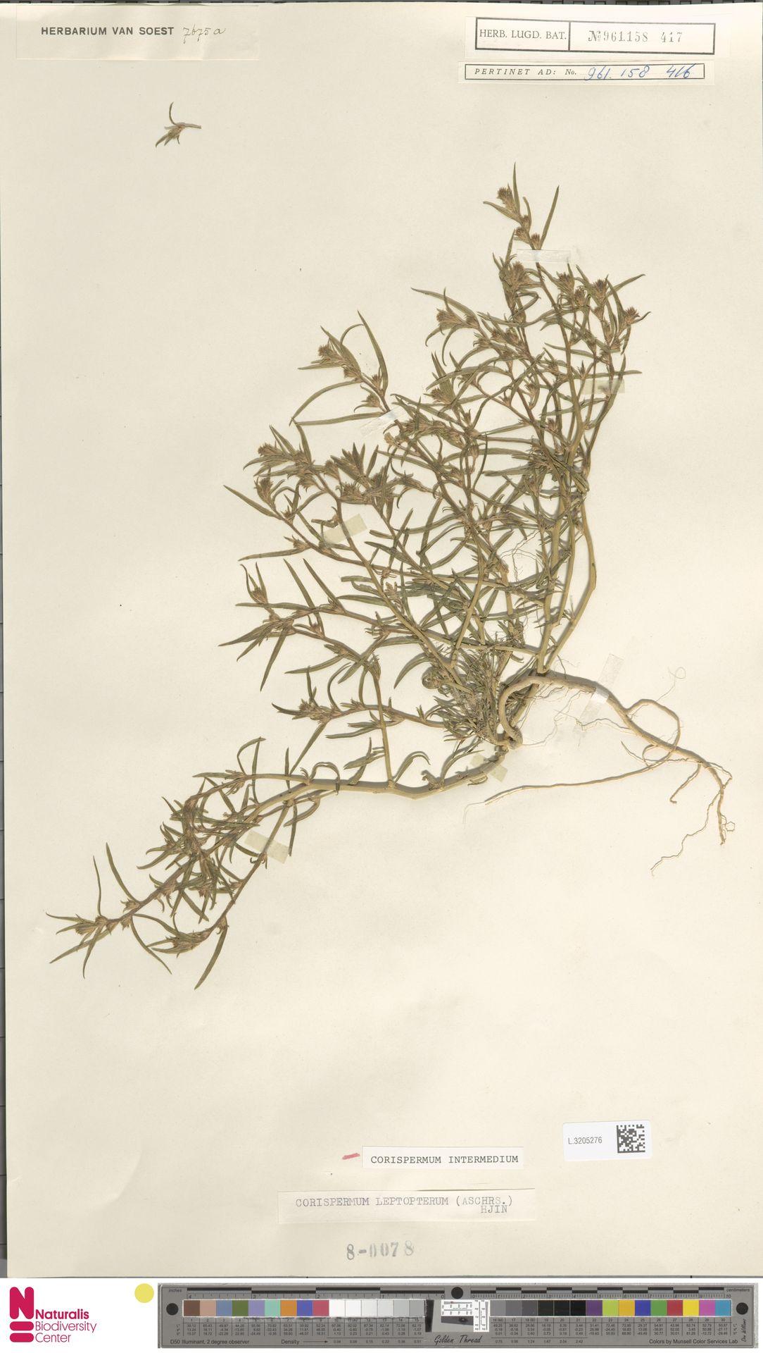 L.3205276 | Corispermum intermedium Schweigg.
