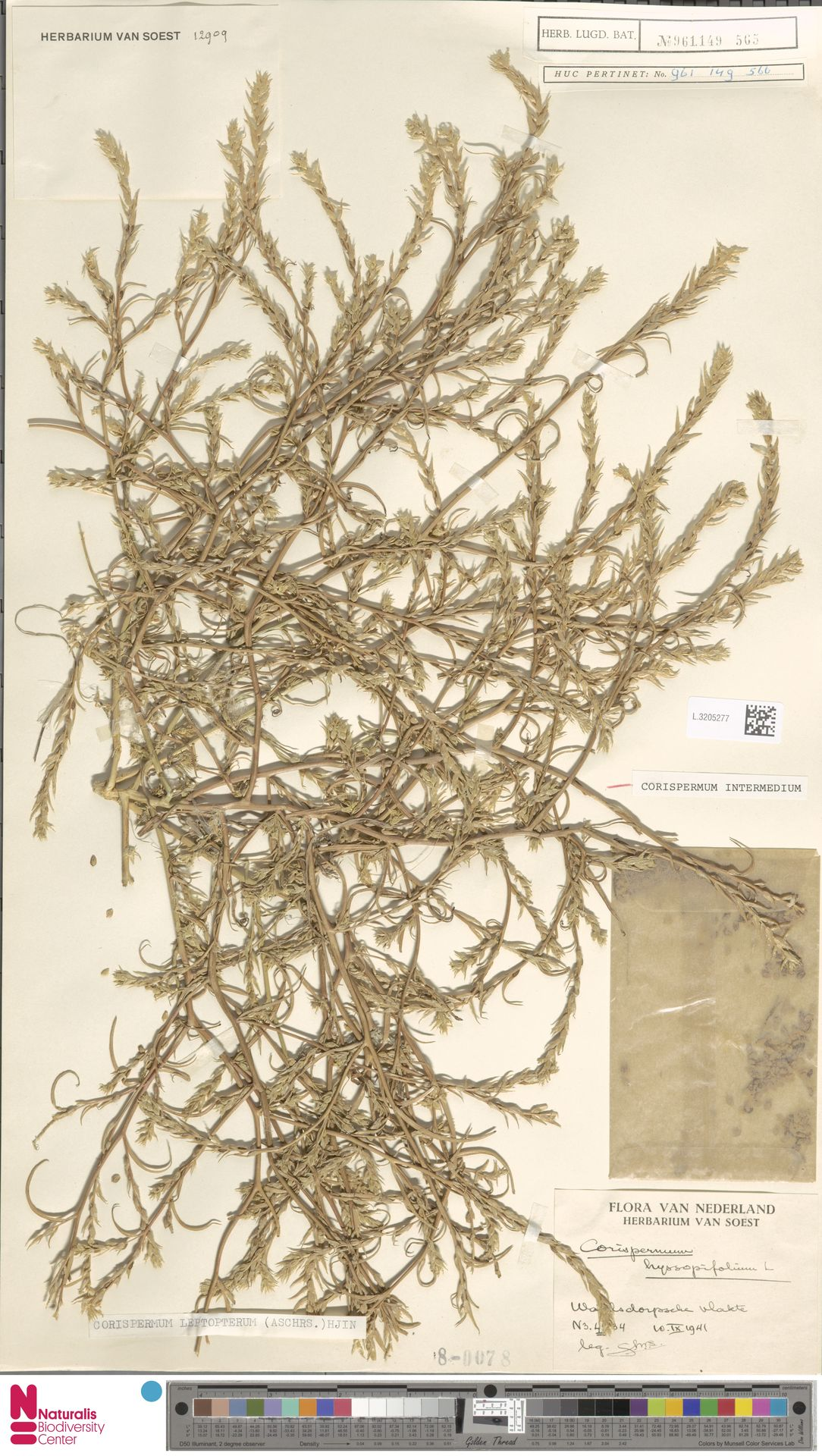 L.3205277 | Corispermum intermedium Schweigg.