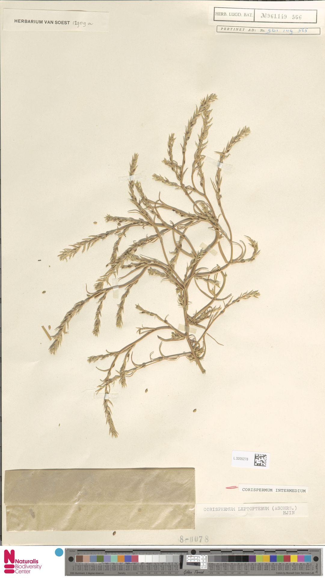 L.3205278 | Corispermum intermedium Schweigg.