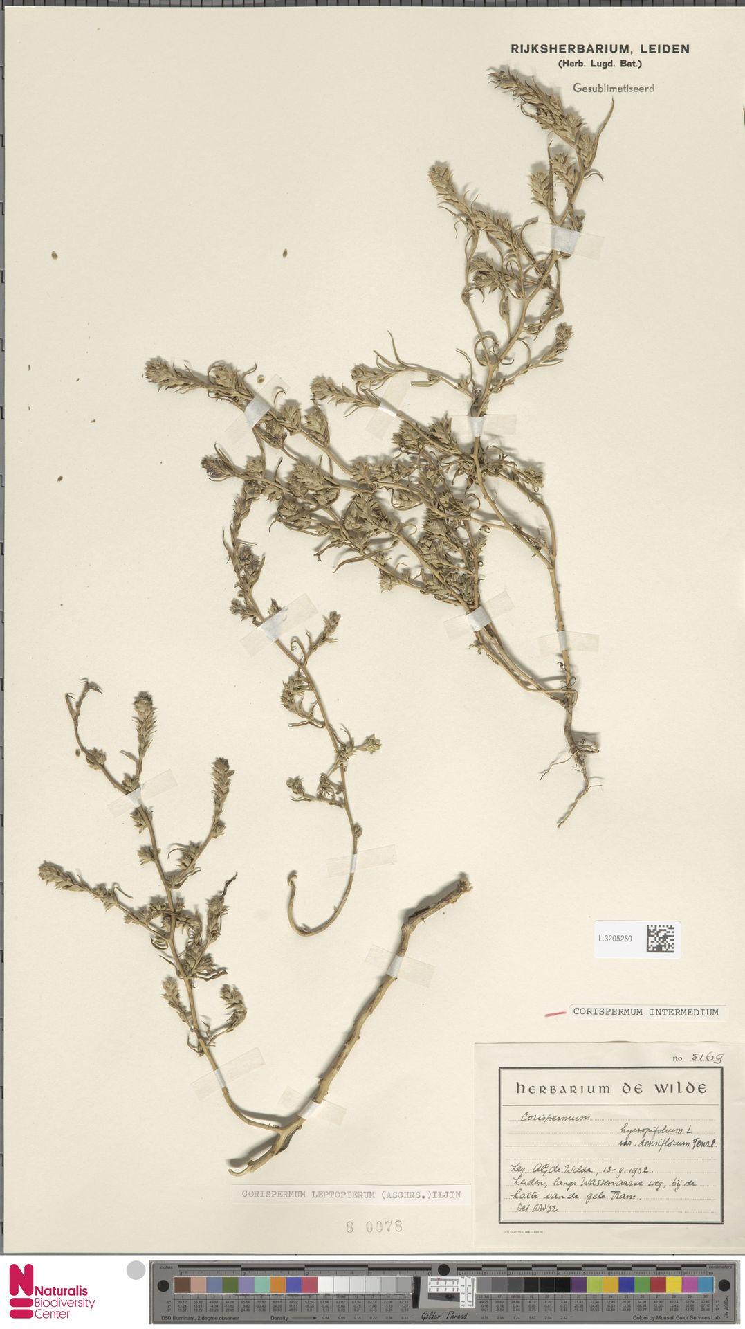 L.3205280 | Corispermum intermedium Schweigg.