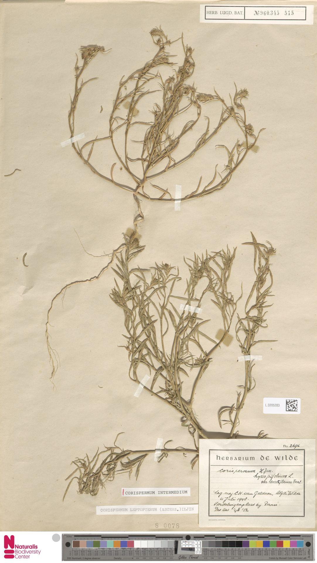 L.3205283 | Corispermum intermedium Schweigg.