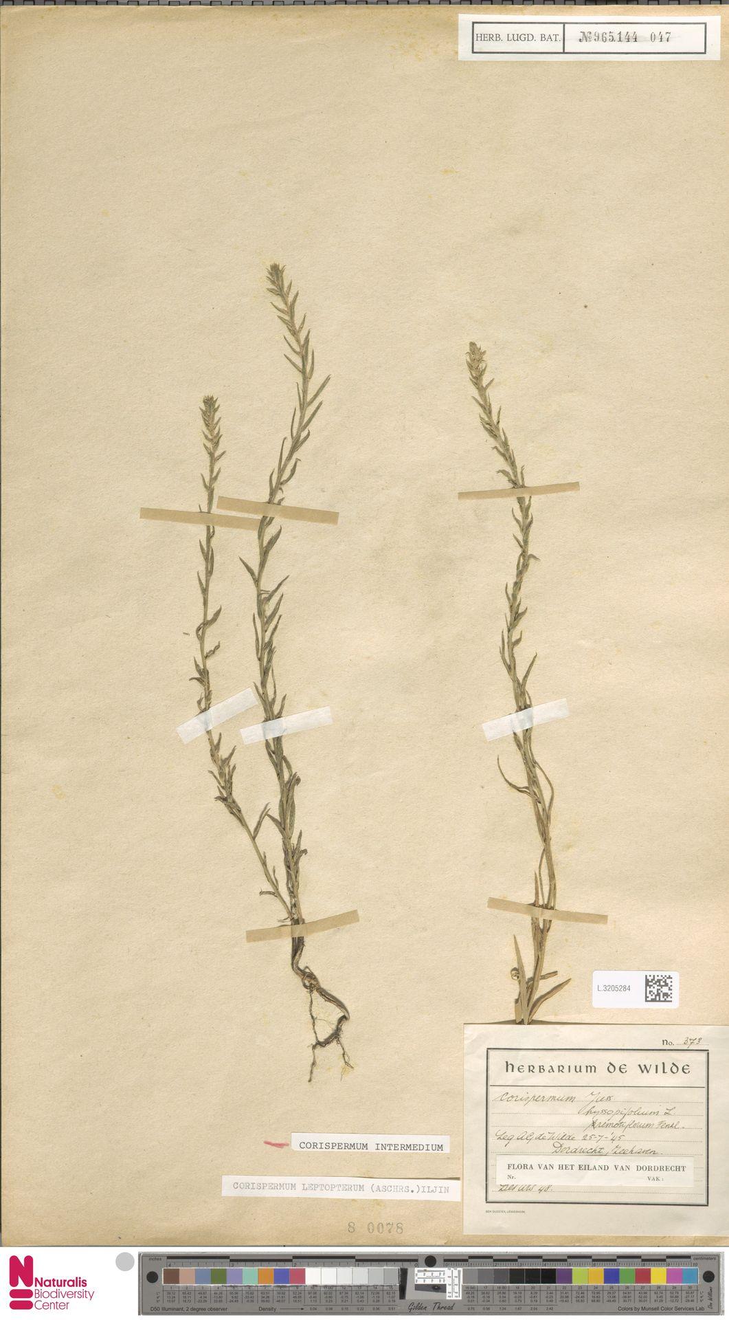 L.3205284 | Corispermum intermedium Schweigg.