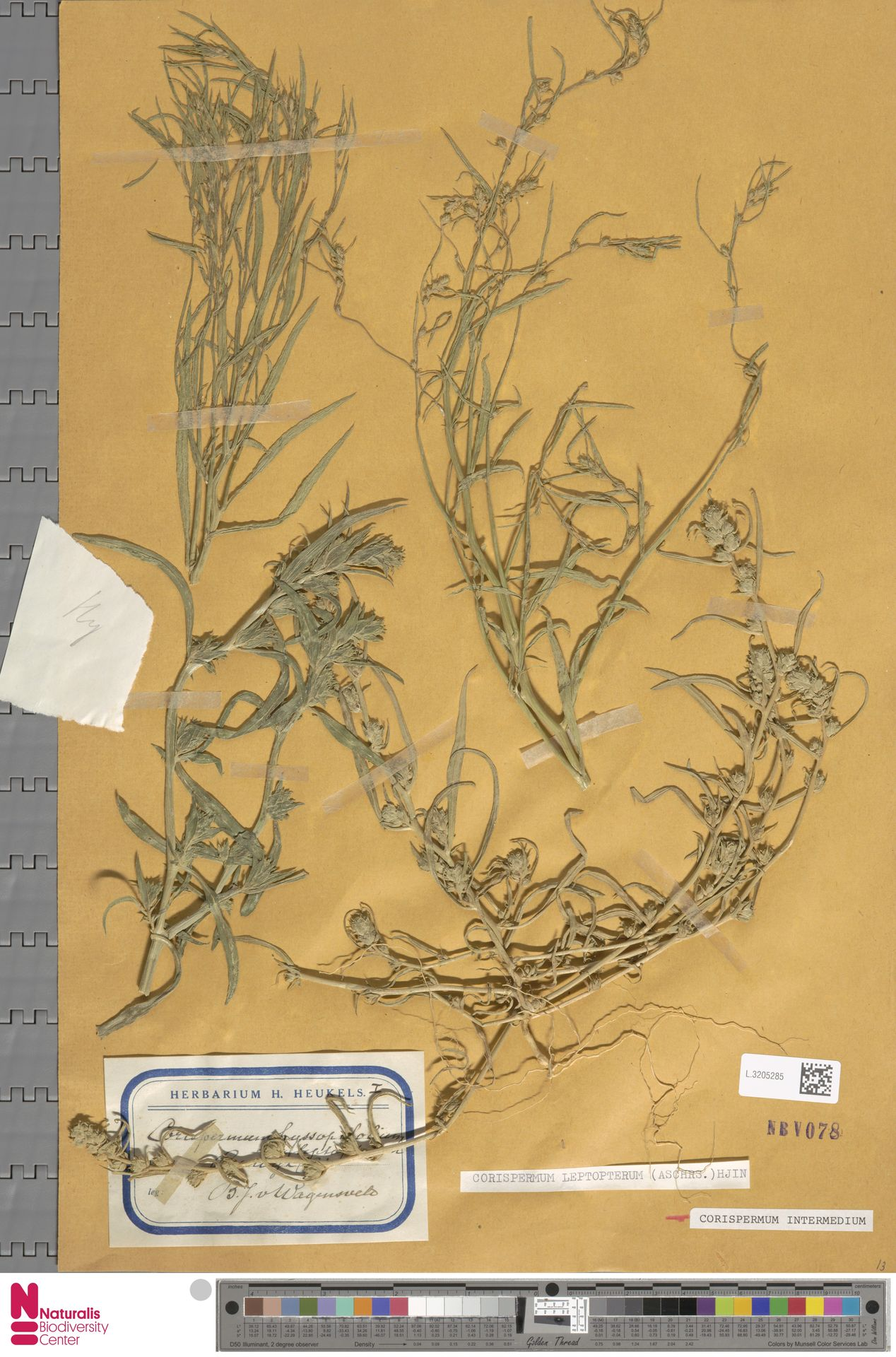 L.3205285 | Corispermum intermedium Schweigg.