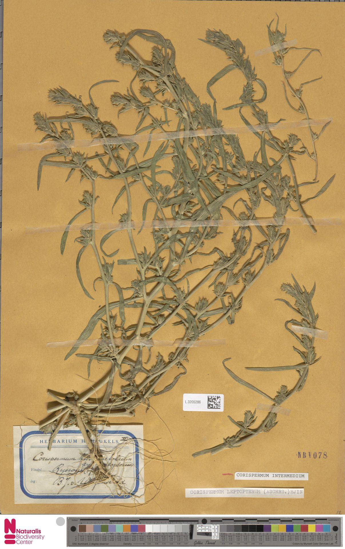 L.3205286 | Corispermum intermedium Schweigg.
