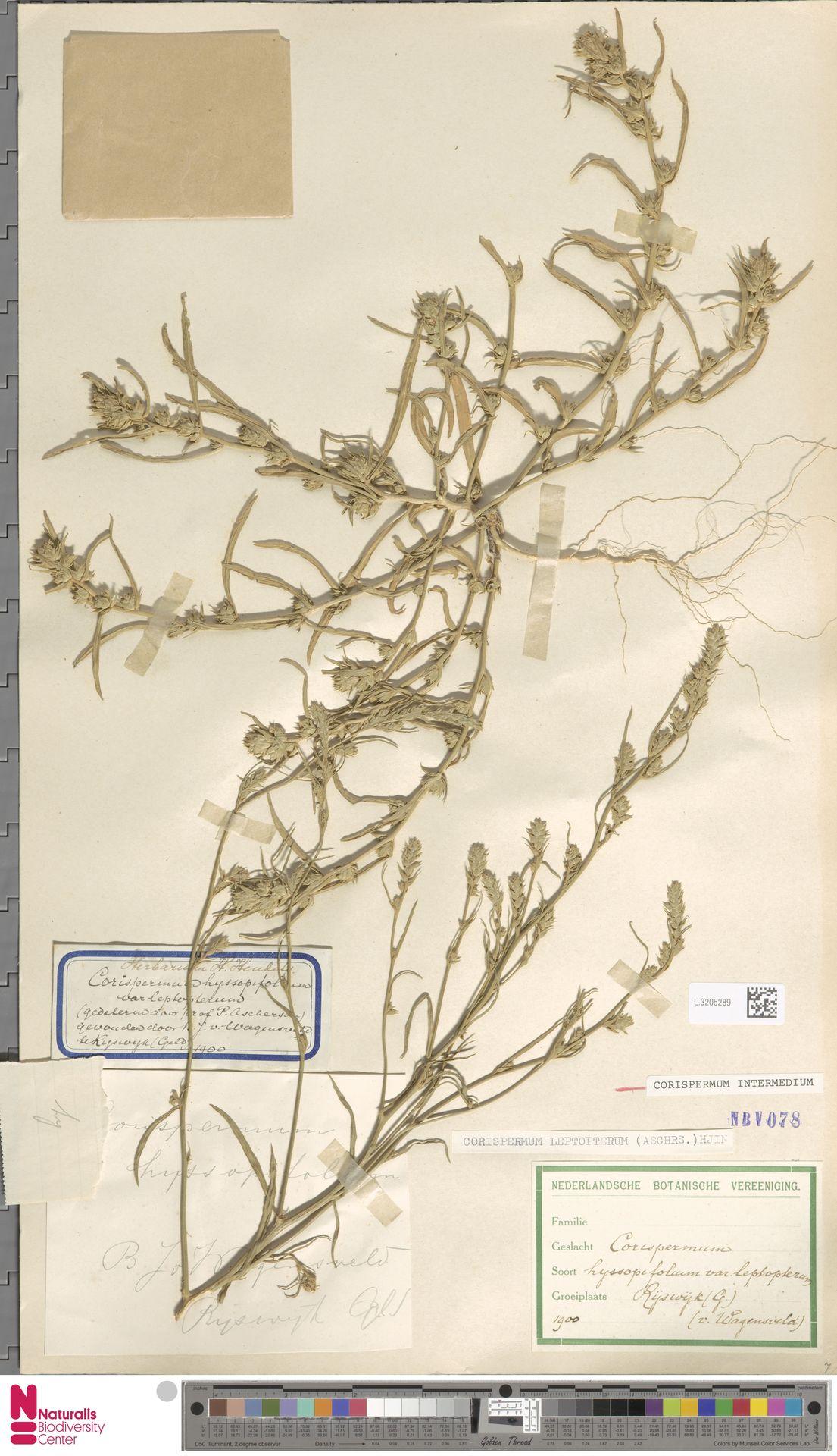 L.3205289 | Corispermum intermedium Schweigg.