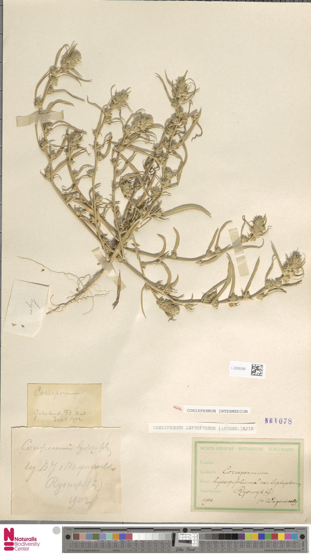 L.3205290 | Corispermum intermedium Schweigg.