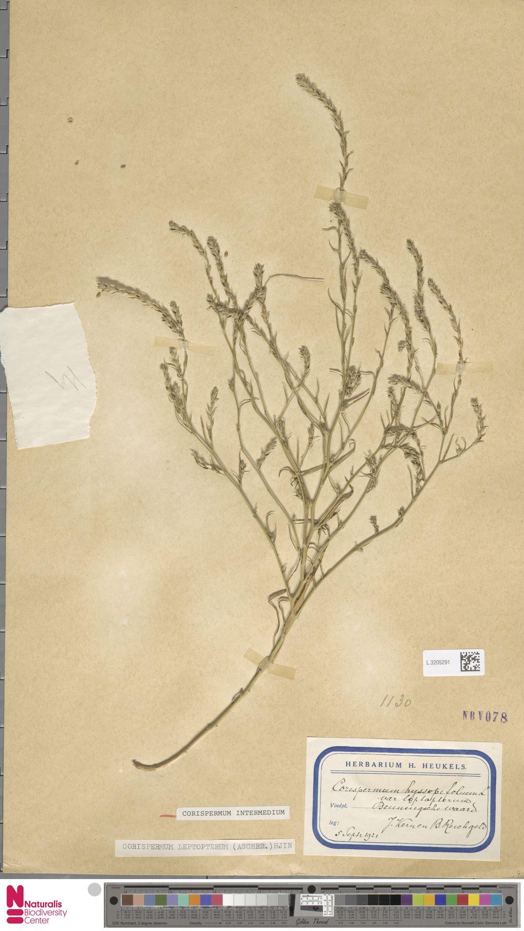 L.3205291 | Corispermum intermedium Schweigg.