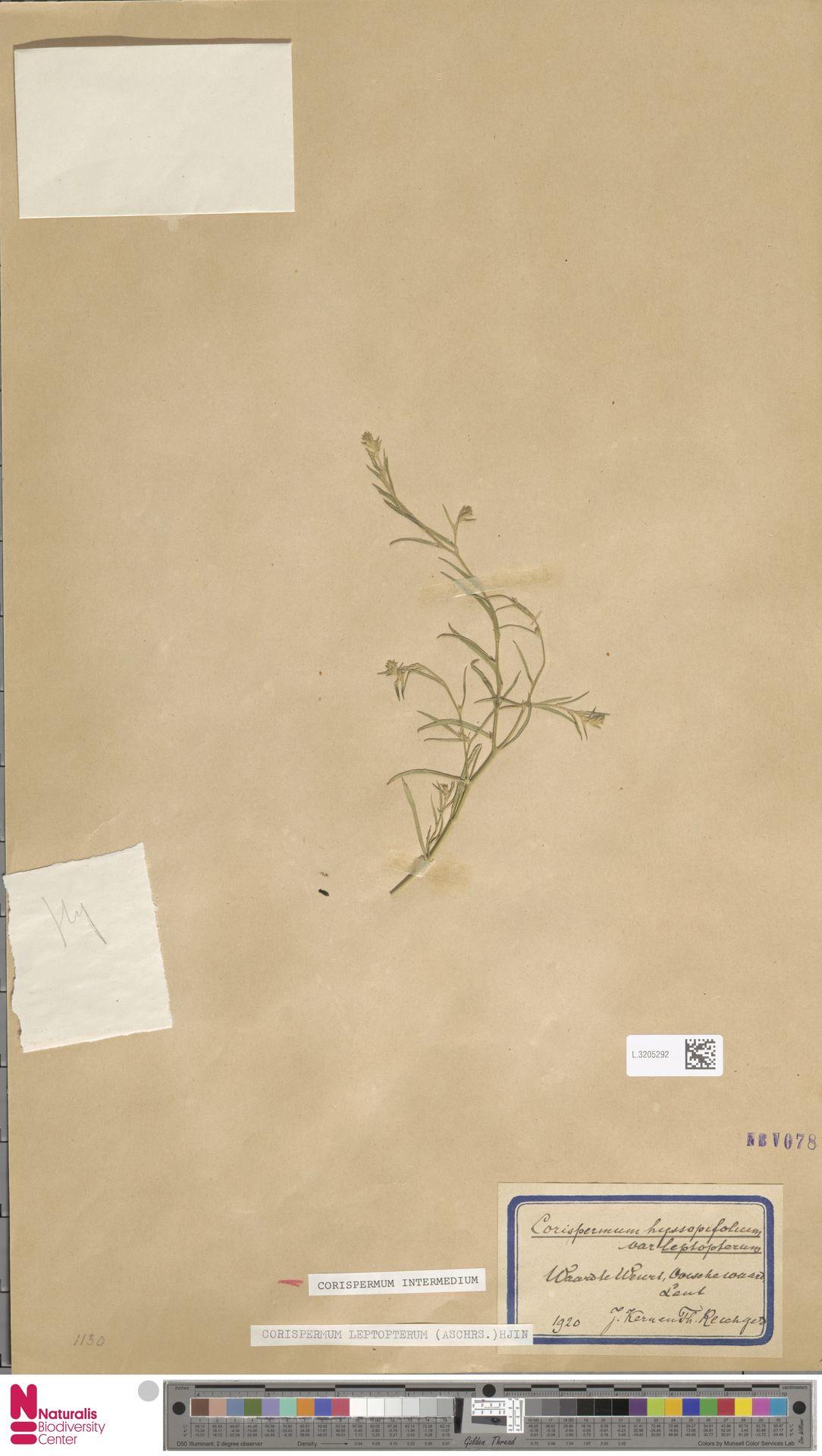 L.3205292 | Corispermum intermedium Schweigg.