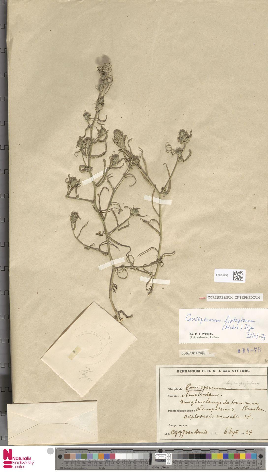 L.3205293 | Corispermum intermedium Schweigg.