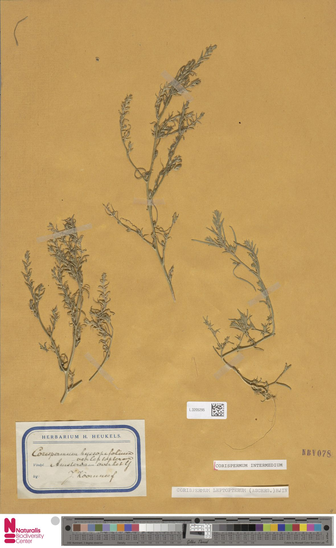 L.3205295 | Corispermum intermedium Schweigg.