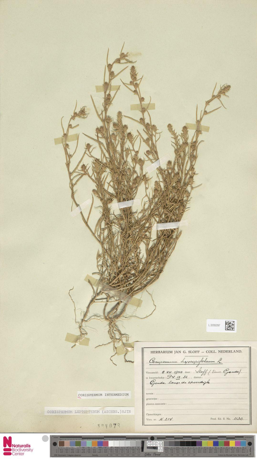 L.3205297 | Corispermum intermedium Schweigg.