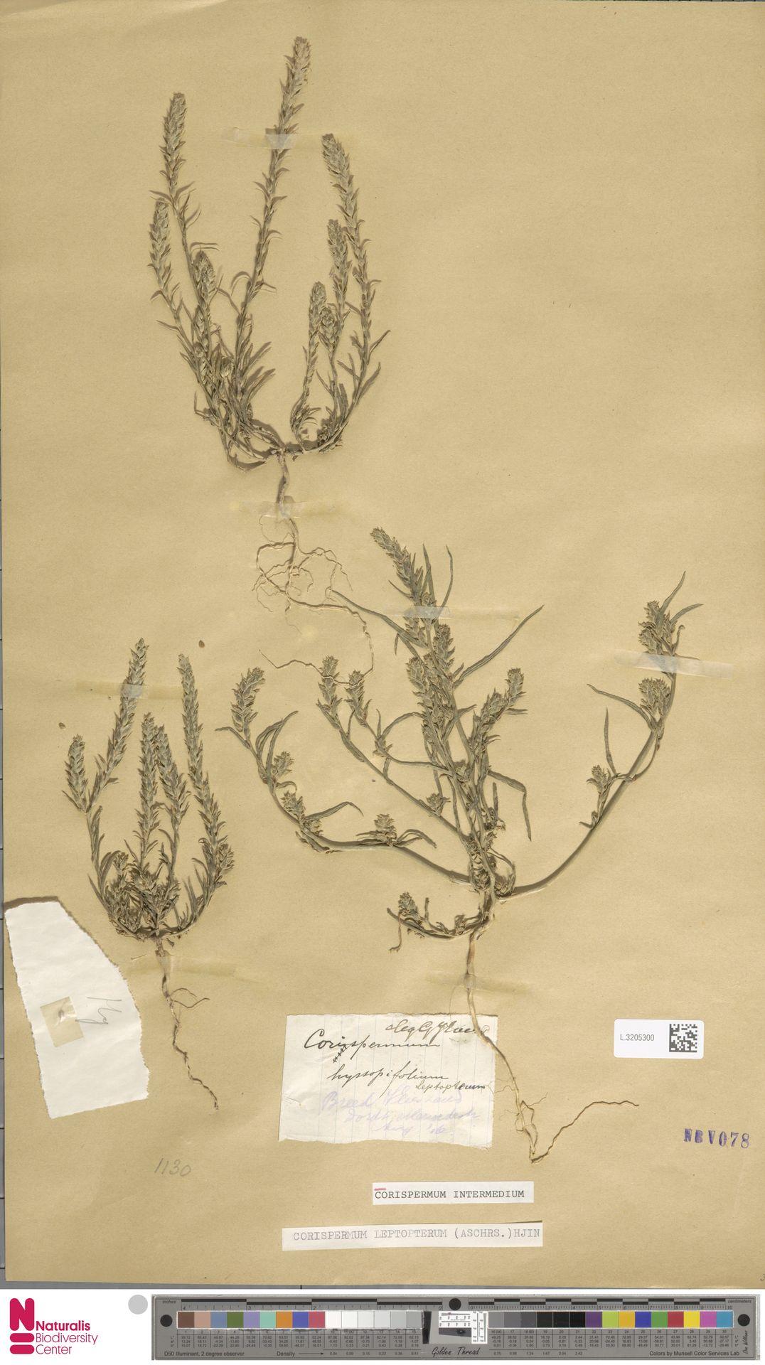 L.3205300 | Corispermum intermedium Schweigg.