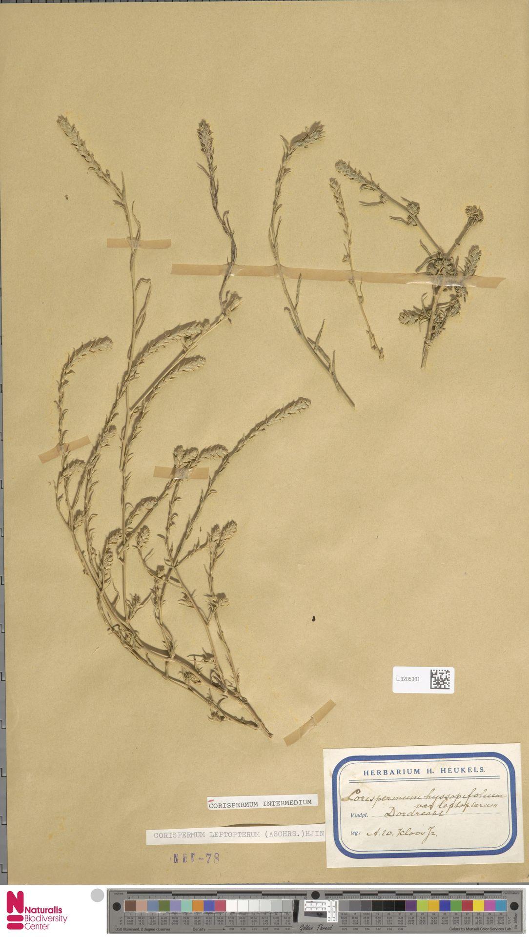 L.3205301 | Corispermum intermedium Schweigg.