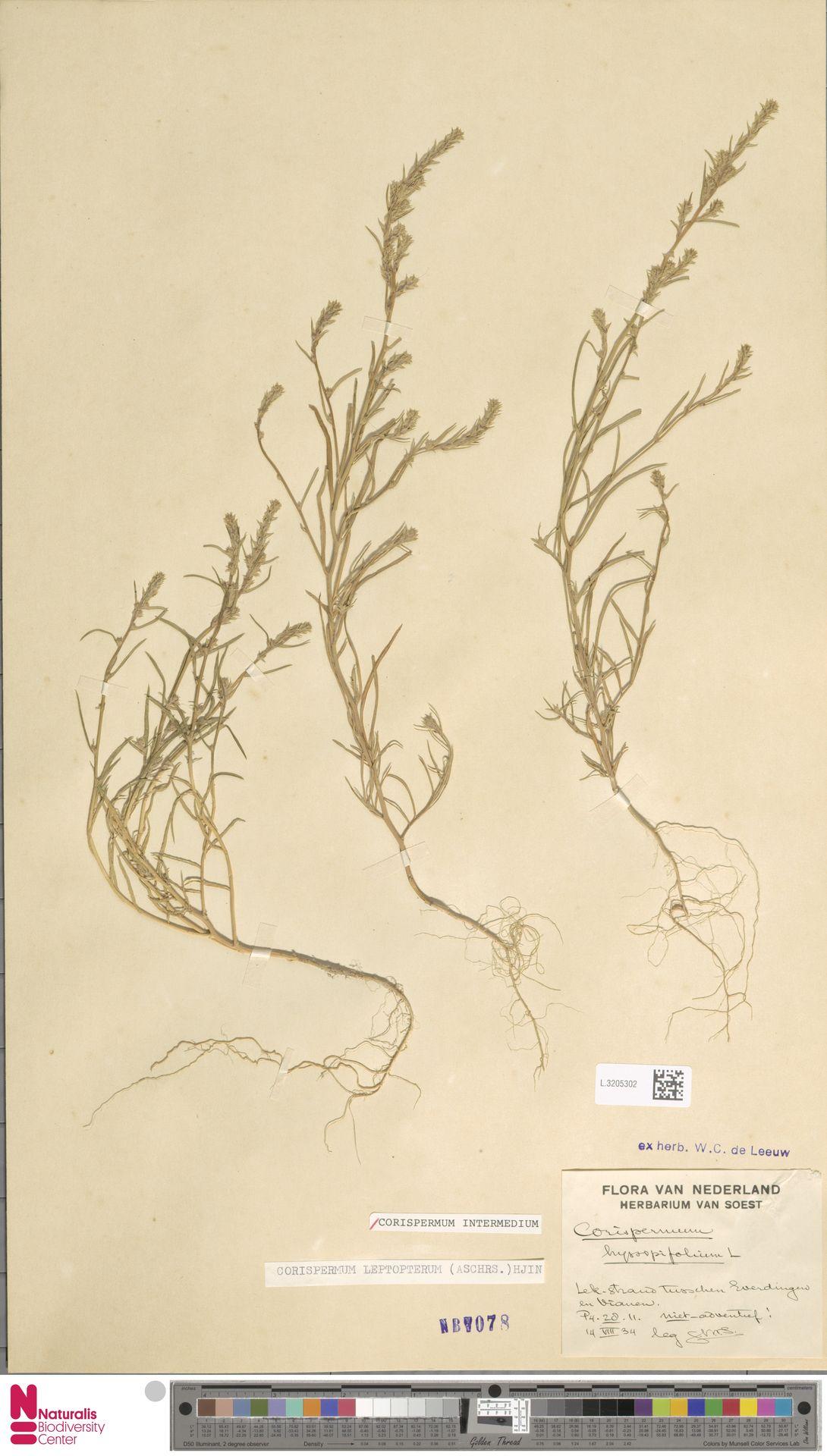 L.3205302 | Corispermum intermedium Schweigg.