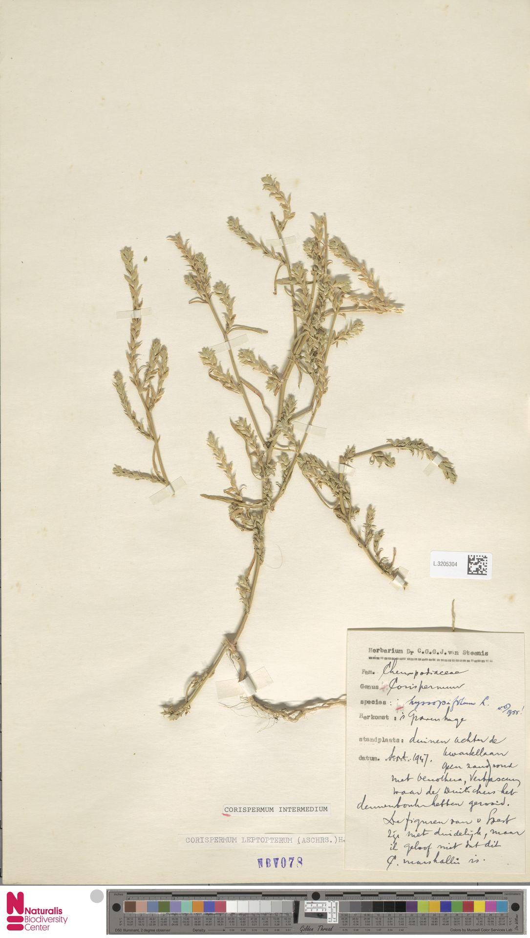 L.3205304 | Corispermum intermedium Schweigg.