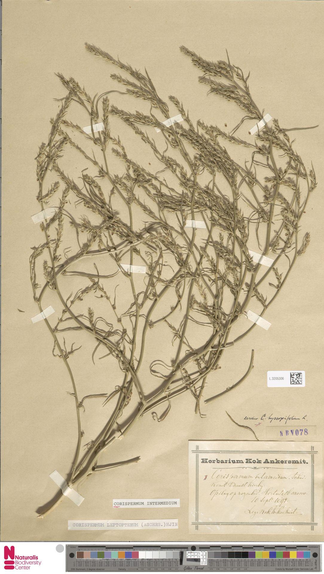 L.3205306 | Corispermum intermedium Schweigg.