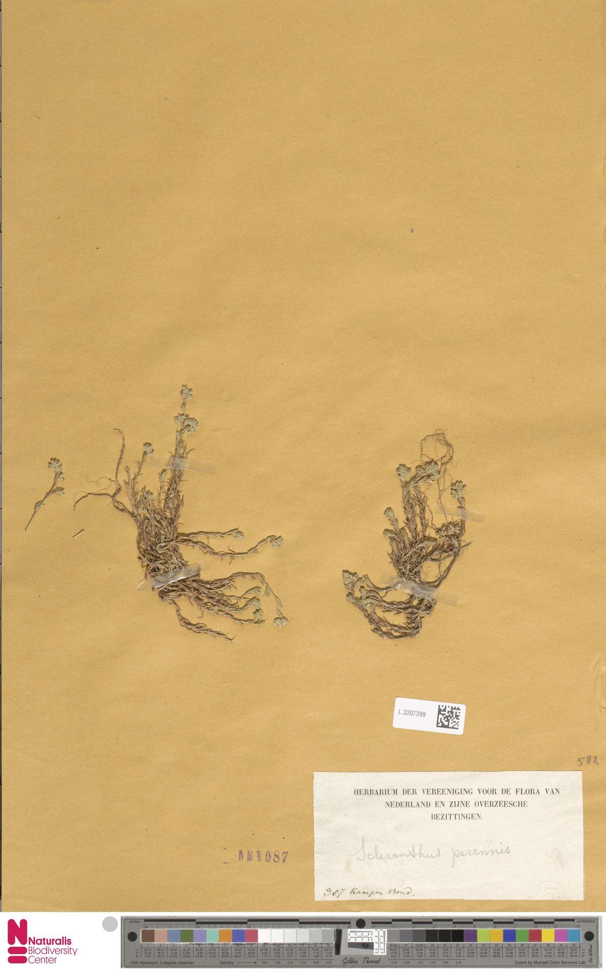 L.3207399 | Scleranthus perennis L.