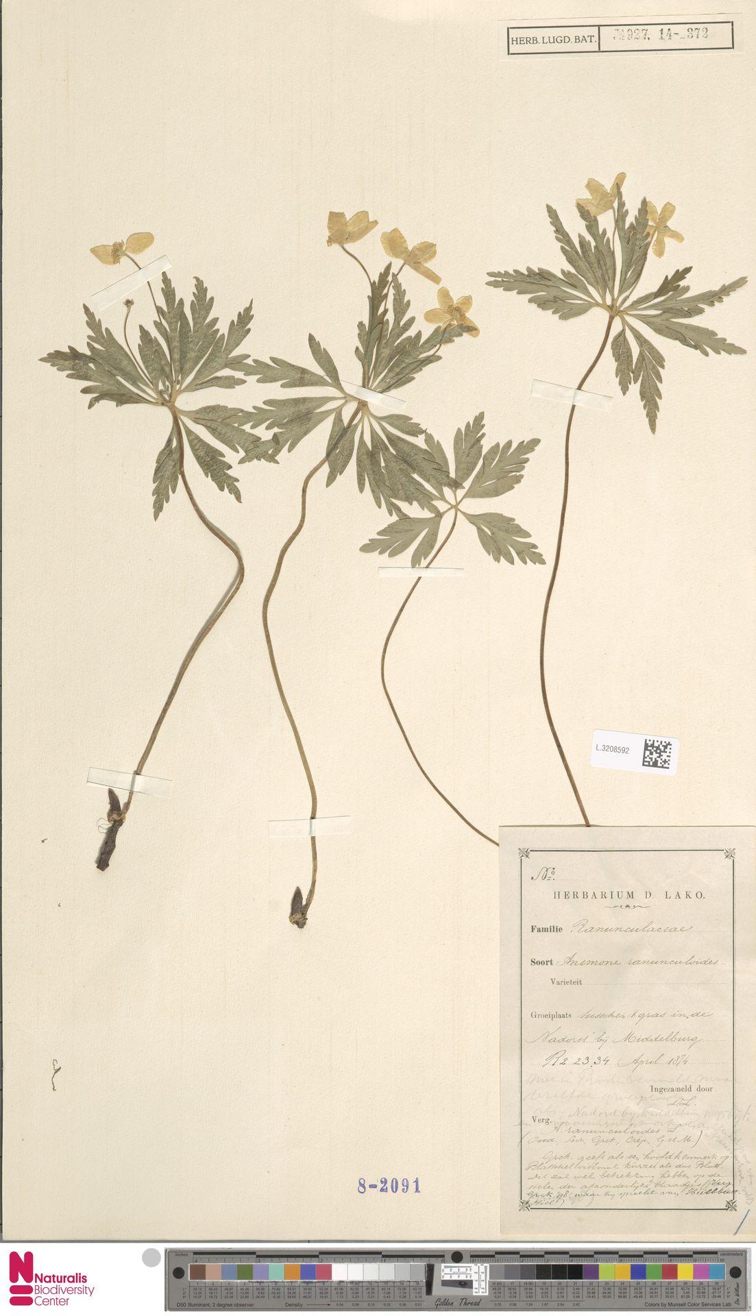 L.3208592 | Anemone ranunculoides L.