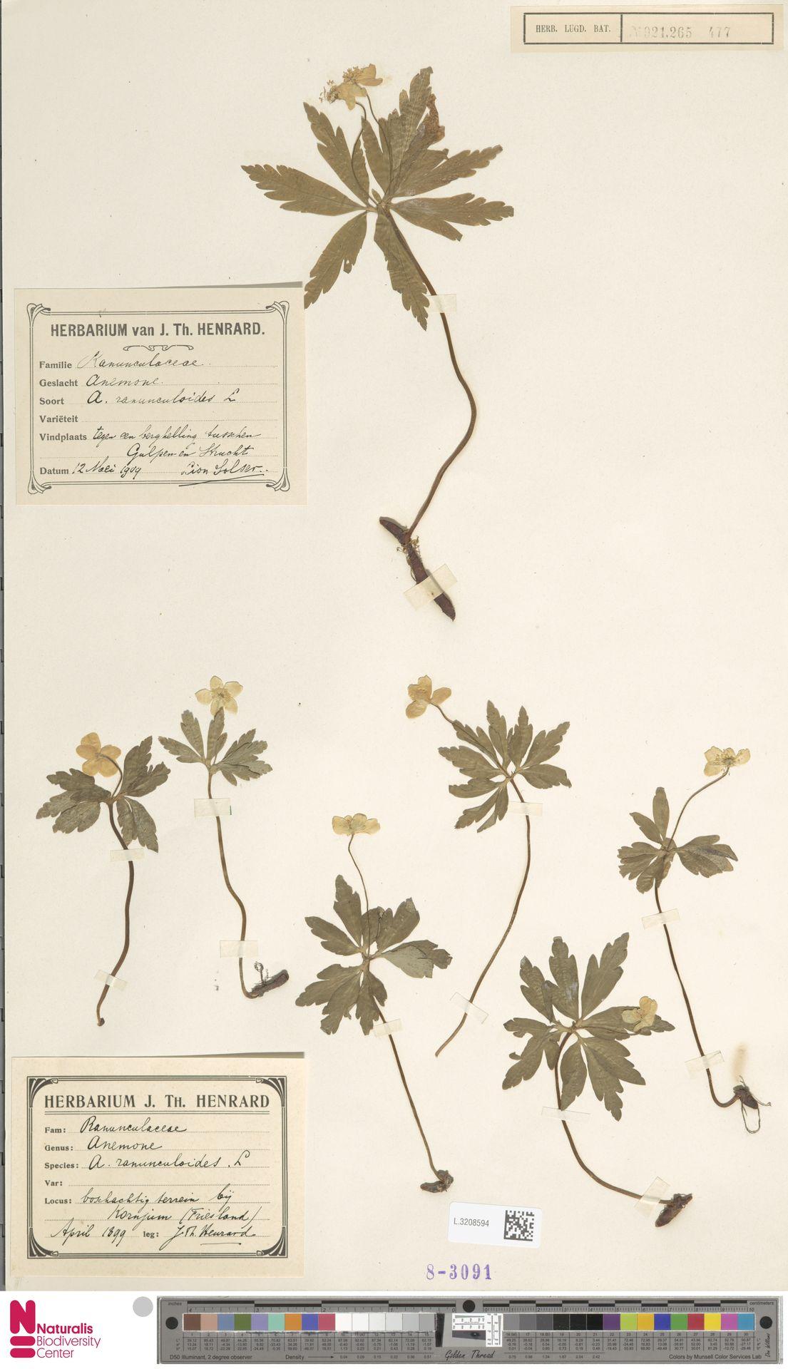 L.3208594   Anemone ranunculoides L.