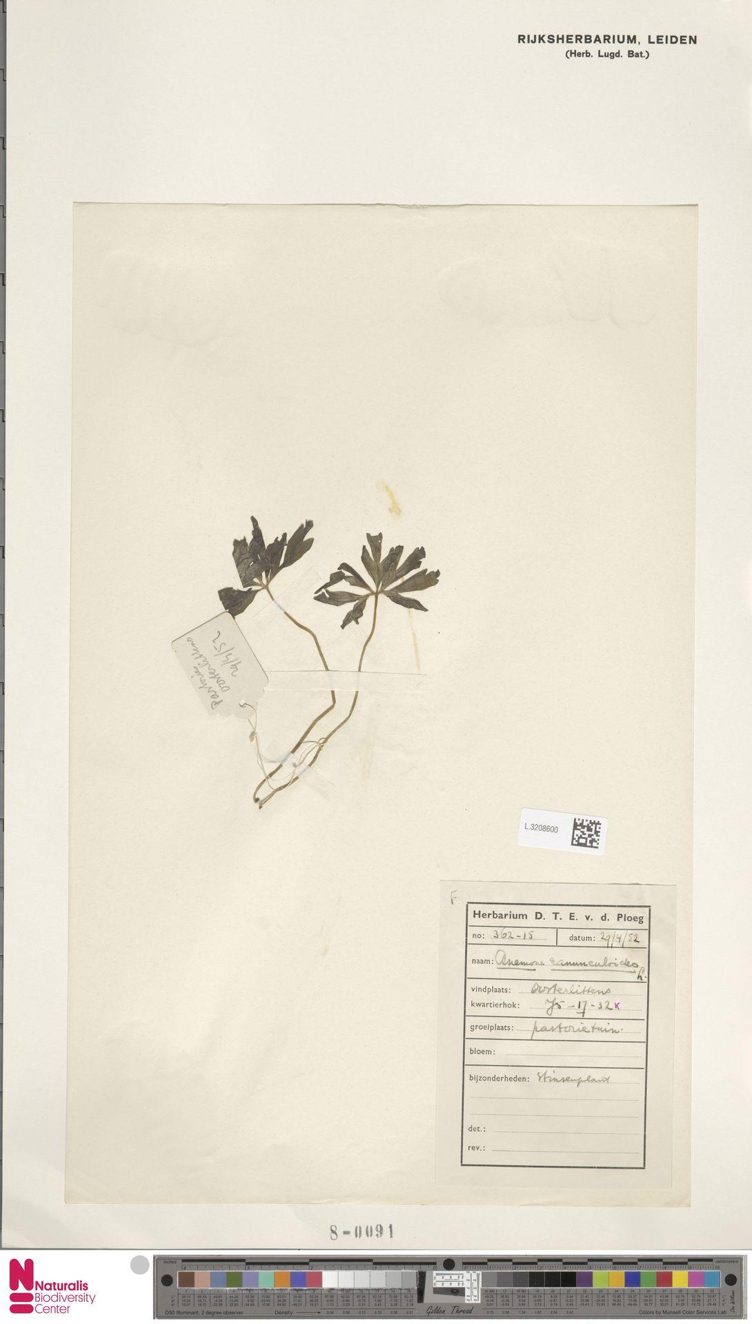 L.3208600   Anemone ranunculoides L.
