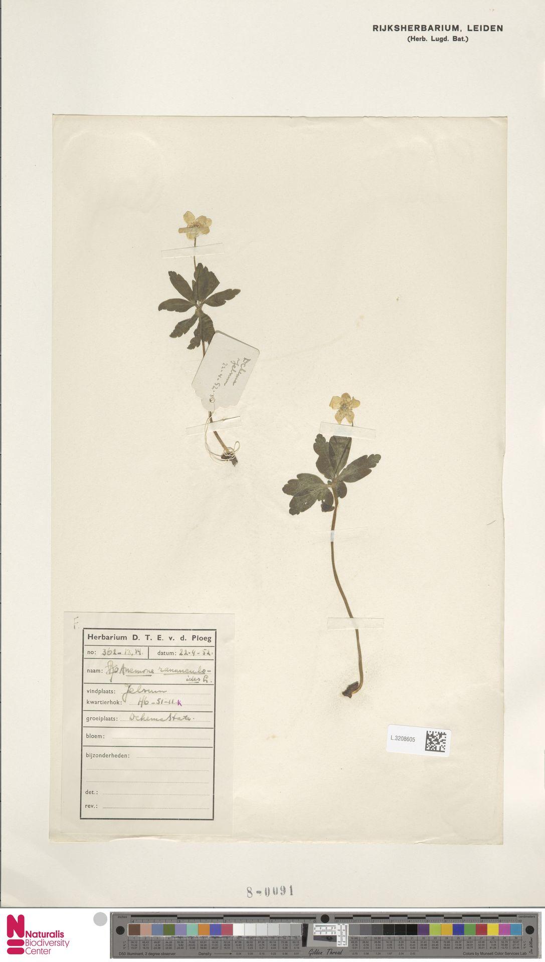 L.3208605   Anemone ranunculoides L.