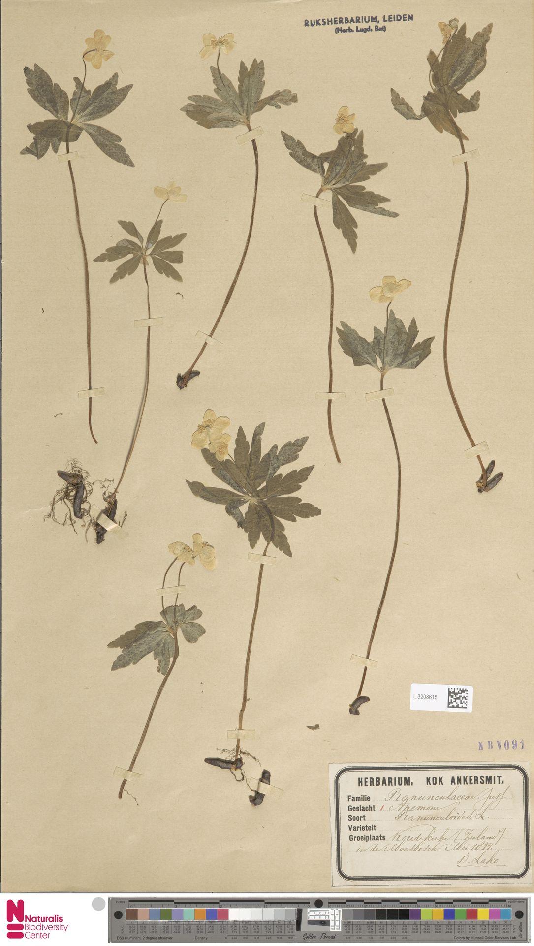 L.3208615   Anemone ranunculoides L.