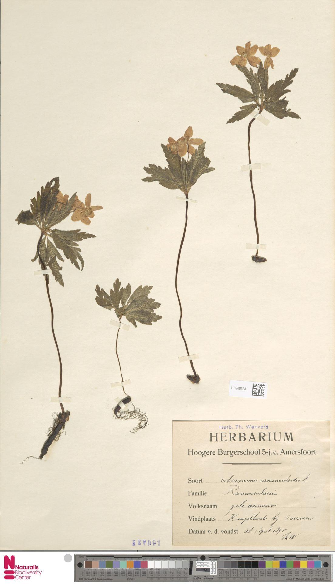 L.3208628 | Anemone ranunculoides L.