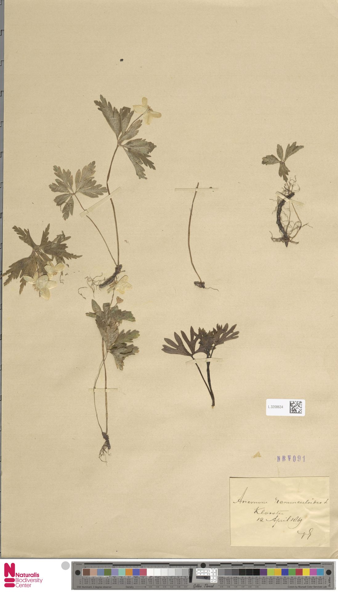 L.3208634 | Anemone ranunculoides L.