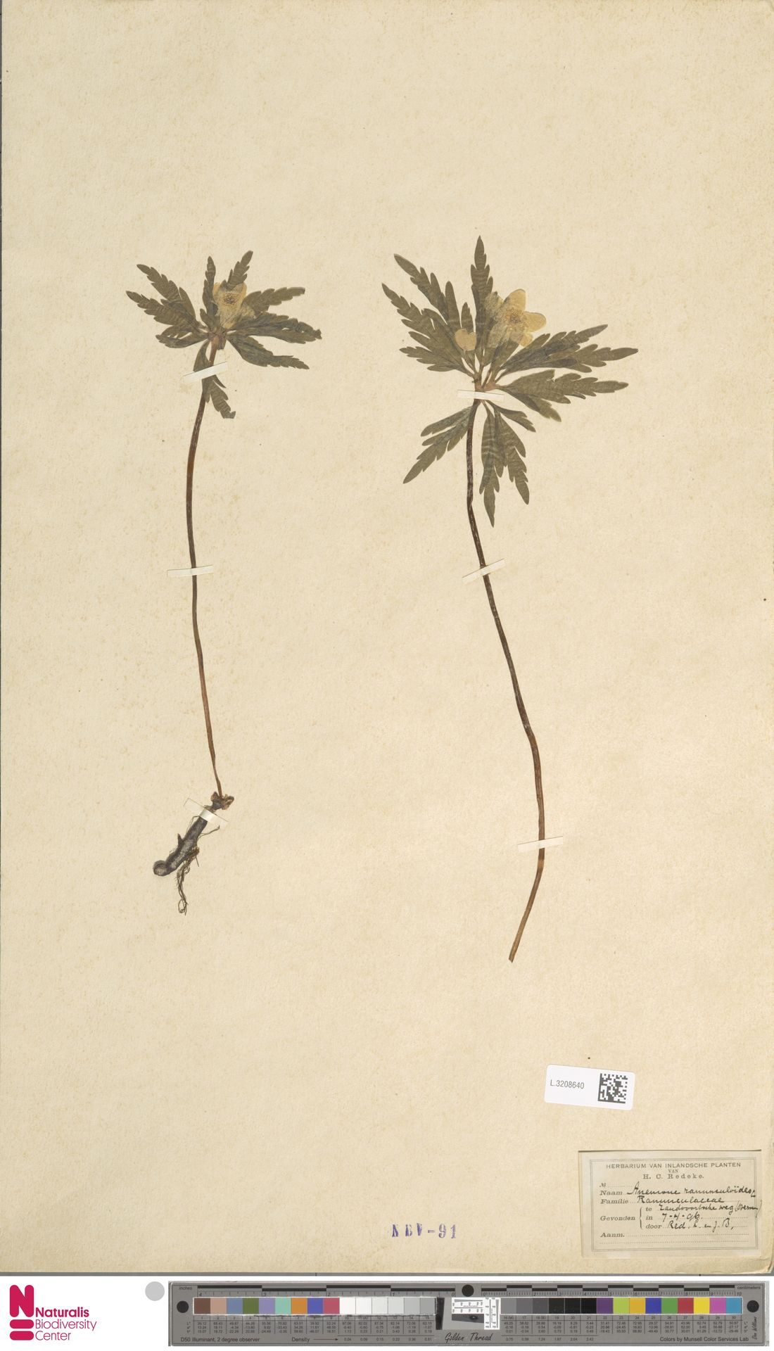 L.3208640 | Anemone ranunculoides L.