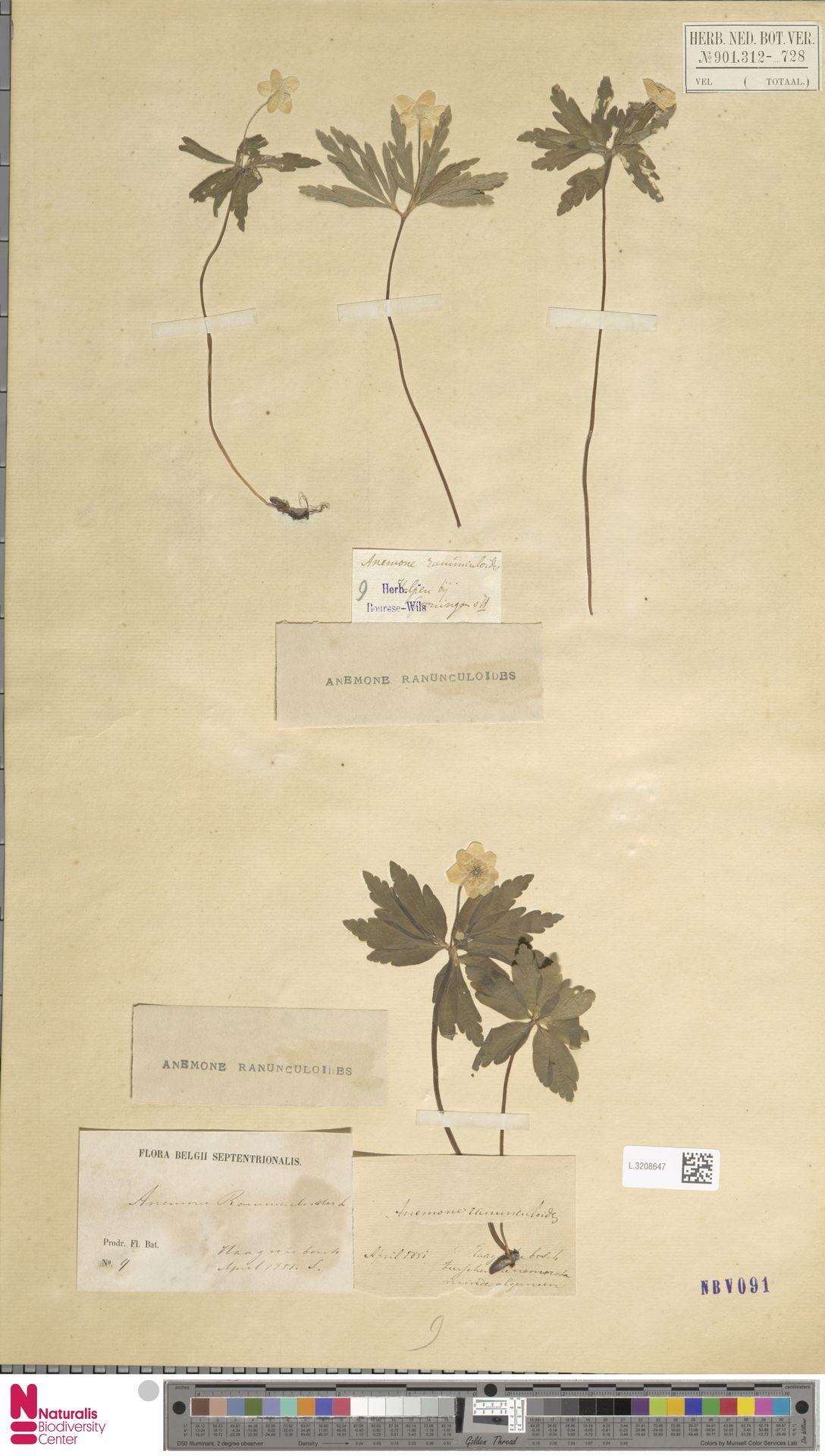 L.3208647 | Anemone ranunculoides L.