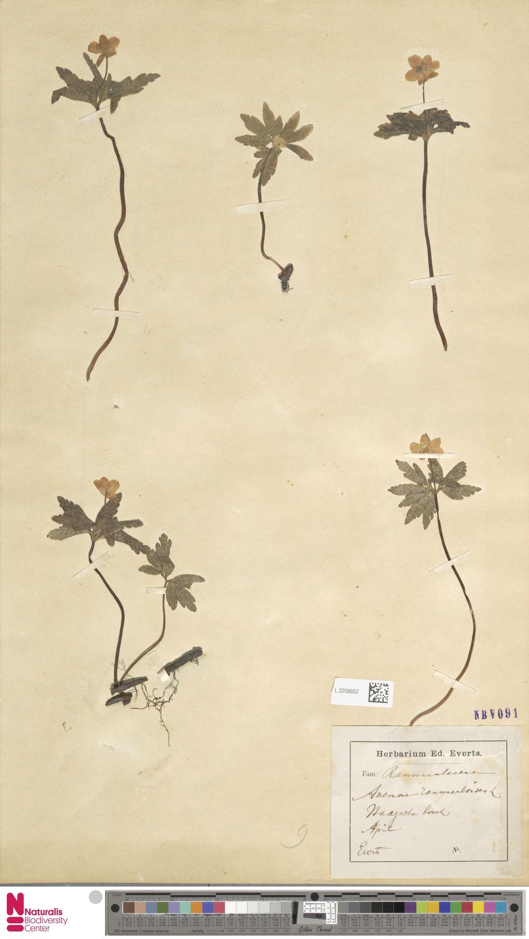 L.3208652 | Anemone ranunculoides L.