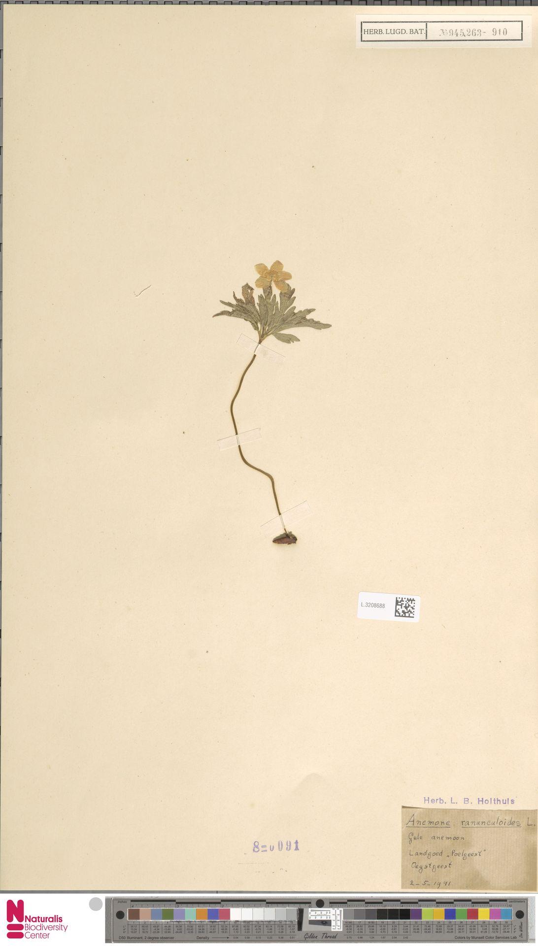 L.3208688 | Anemone ranunculoides L.
