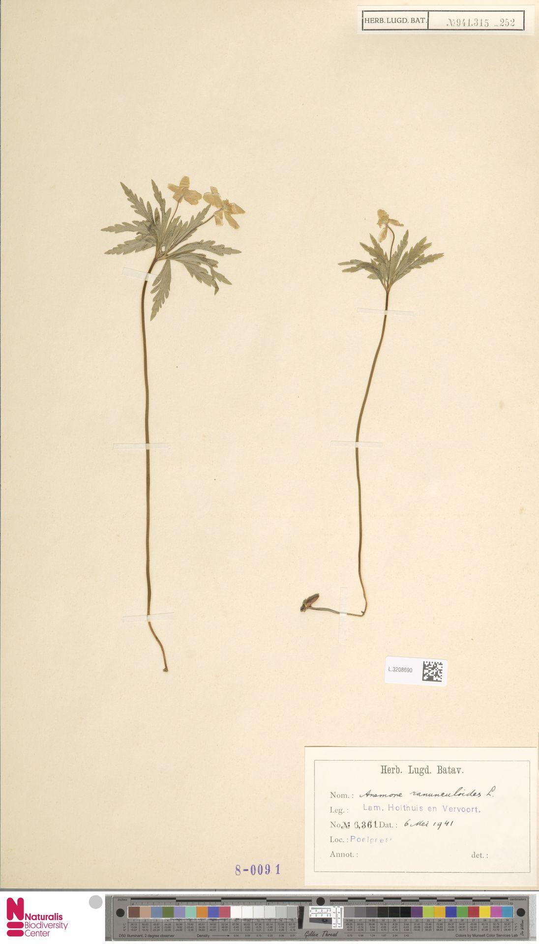 L.3208690 | Anemone ranunculoides L.