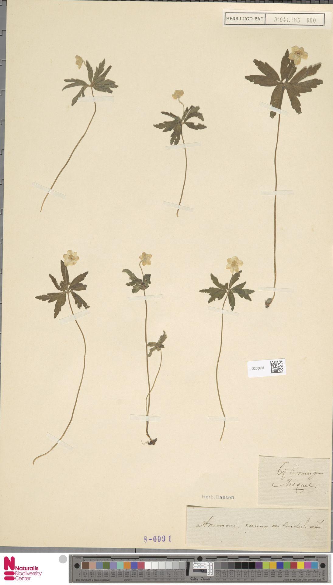 L.3208691 | Anemone ranunculoides L.