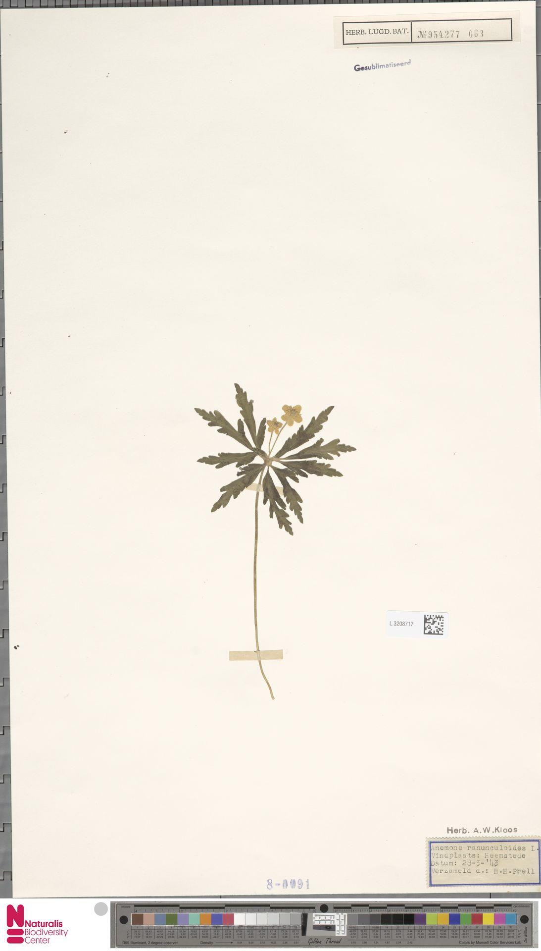 L.3208717 | Anemone ranunculoides L.
