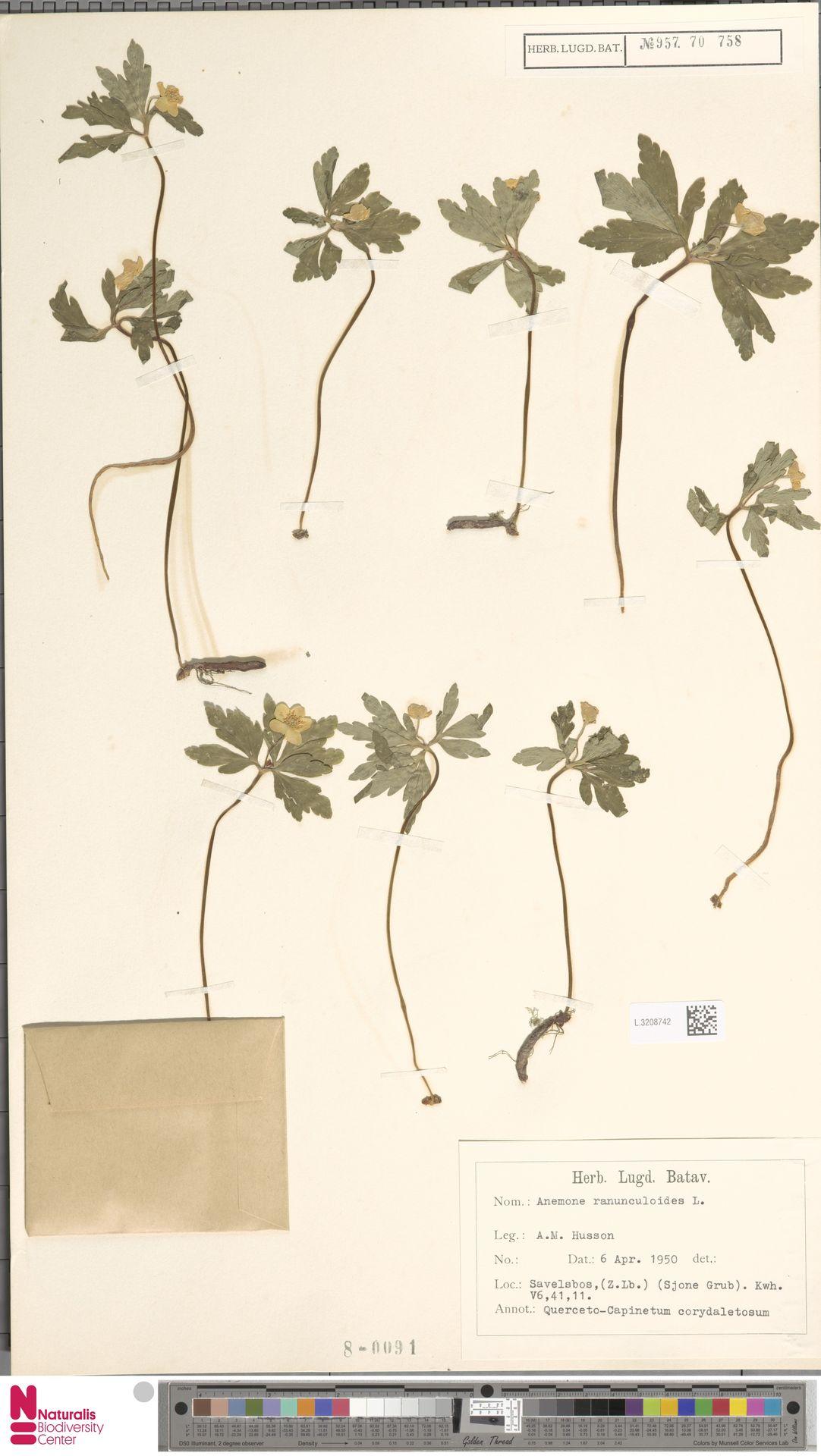 L.3208742 | Anemone ranunculoides L.