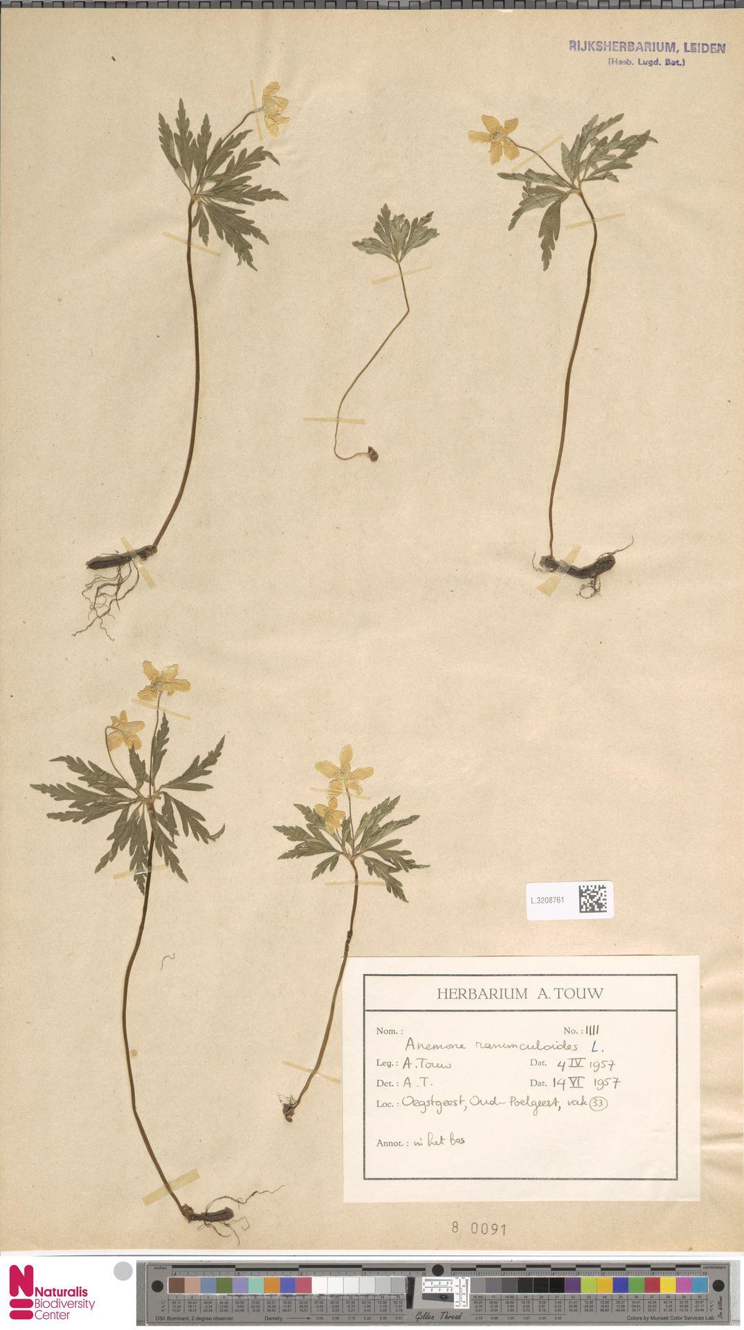 L.3208761   Anemone ranunculoides L.