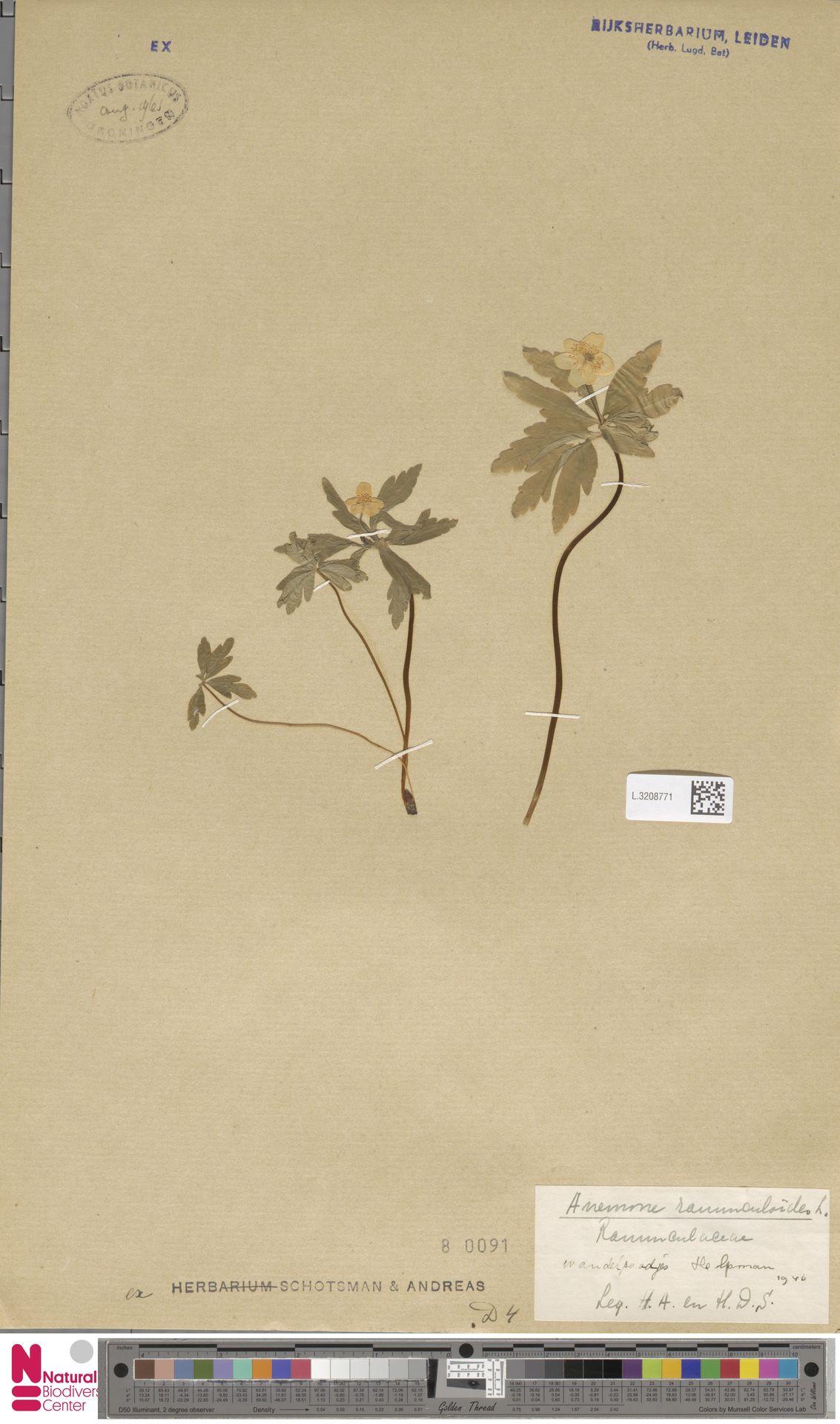 L.3208771 | Anemone ranunculoides L.