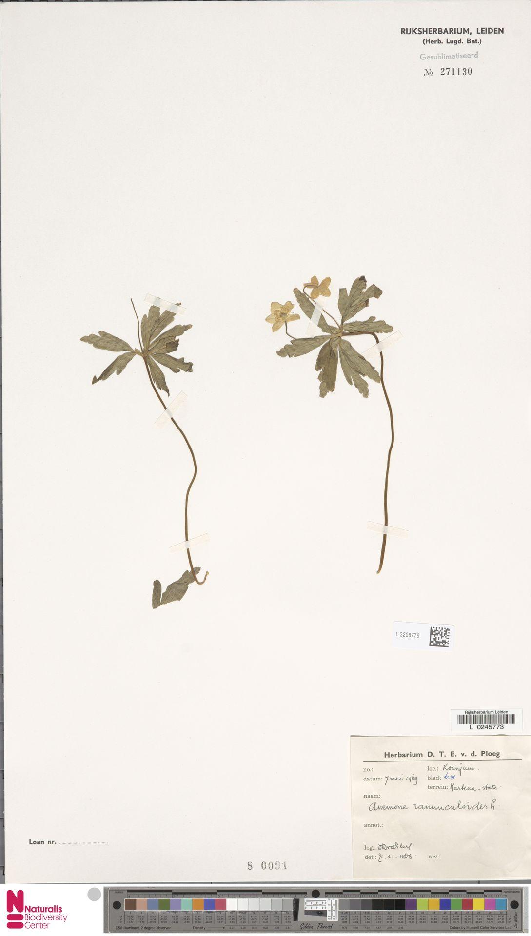 L.3208779 | Anemone ranunculoides L.