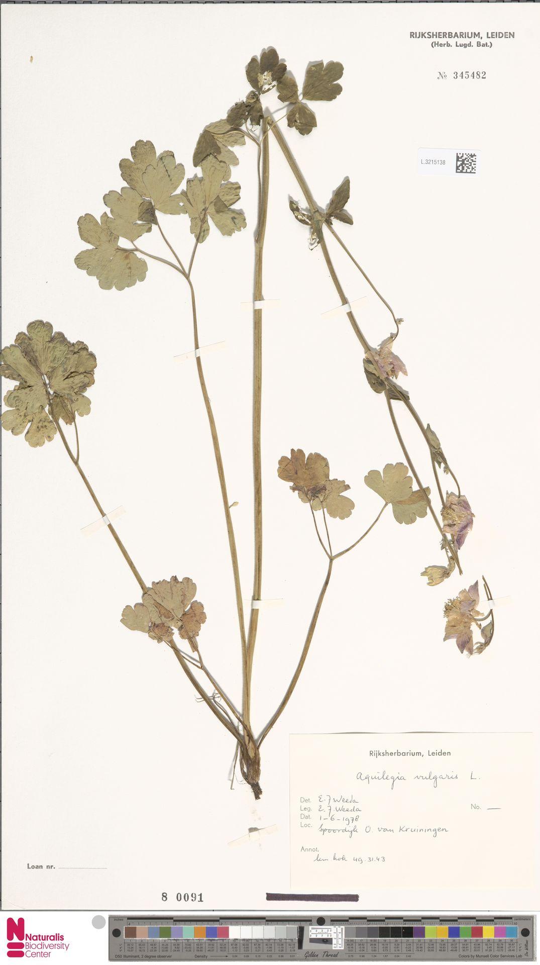 L.3215138   Aquilegia vulgaris L.