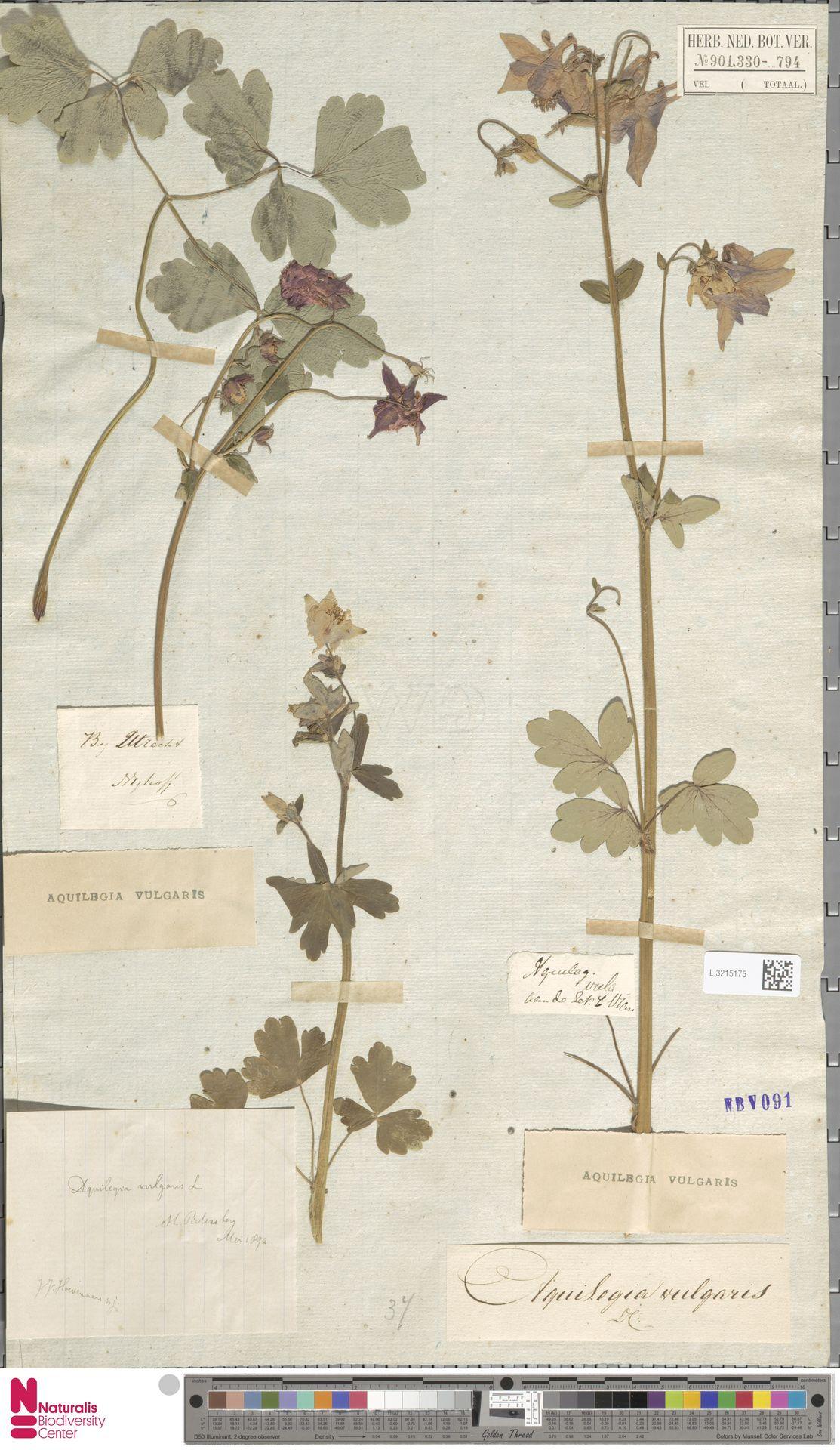 L.3215175   Aquilegia vulgaris L.