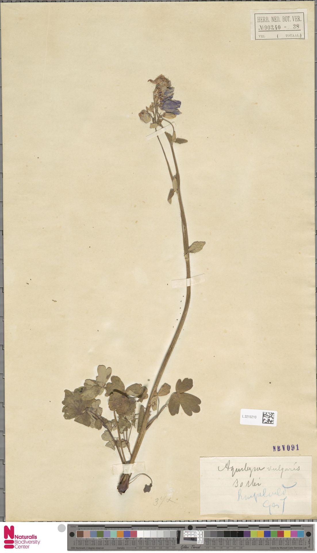 L.3215210 | Aquilegia vulgaris L.