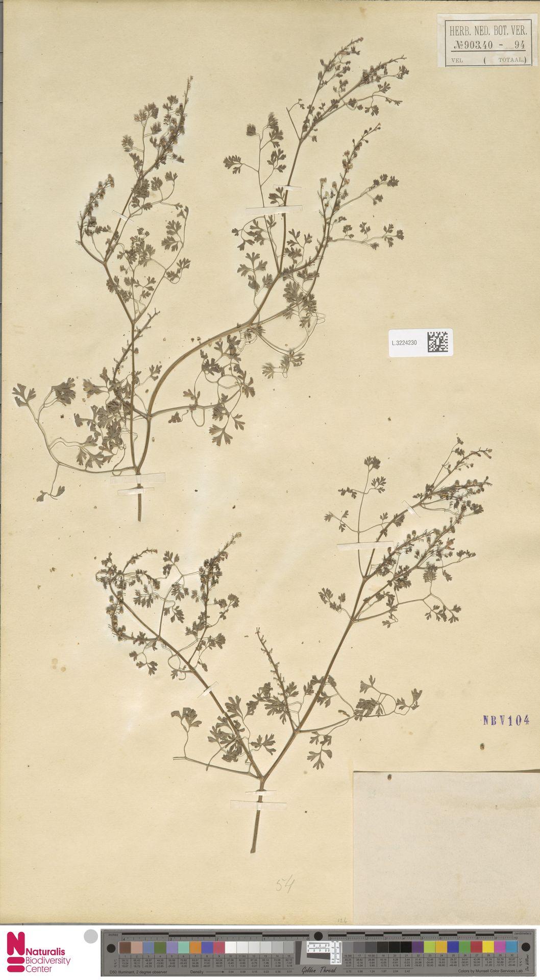 L.3224230 | Fumaria officinalis L.
